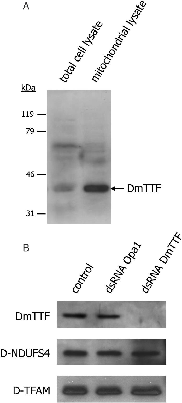 Effect of DmTTF-targeted RNAi in D.Mel-2 cells. ( A ) Western blotting analysis of D.Mel-2 total cell and mitochondrial lysate. A total of 250 µg of proteins were fractionated on a 12% SDS–polyacrylamide gel, electroblotted to PVDF filters and incubated with polyclonal antibodies against recombinant DmTTF. ( B ) D.Mel-2 cells were either untreated (control) or treated with odds-paired (Opa1) or DmTTF dsRNA. Mitochondrial lysate (250 µg of proteins) was probed with polyclonal antibodies against DmTTF, h-NDUFS4 or D-TFAM.