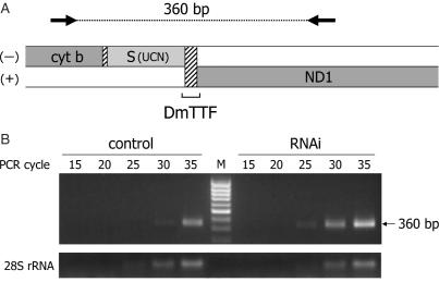 RT–PCR analysis on mitochondrial transcripts spanning the cyt b/ND1-binding site in DmTTF-depleted cells. ( A ) Schematic illustration of the cyt b/ND1-binding site. Black arrows represent the forward (11 494–11 520 nt) and reverse (11 855–11 834 nt) primers used for RT–PCR. Dashed regions indicate non-coding nucleotides. ( B ) Total RNA (600 ng) extracted from untreated (control) and treated (RNAi) D.Mel-2 cells was used as template in RT–PCR; 10 µl-samples were collected at the indicated cycles, run on a 1.5% agarose gel and stained with ethidium bromide. Nuclear encoded 28S rRNA was used as endogenous control.