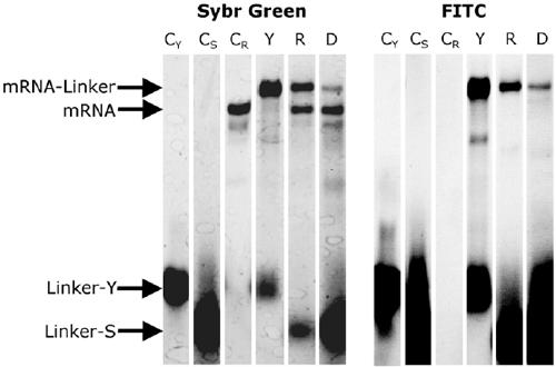 Gel-electrophoresis of ligation products. The ligation products were electrophoresed on 8M Urea 10% PAGE at 65 ºC and were visualized with fluorescence of FITC and then visualized after staining by SYBR Green II using an imager. Lane CY: control, Linker-Y. Lane CS: control, mRNA without ligation. Lane CR: control, Linker-S. Lane Y: Y-ligation with <t>T4</t> RNA ligase. Lane R: splint ligation with T4 RNA ligase. Lane D: splint ligation with T4 DNA ligase.