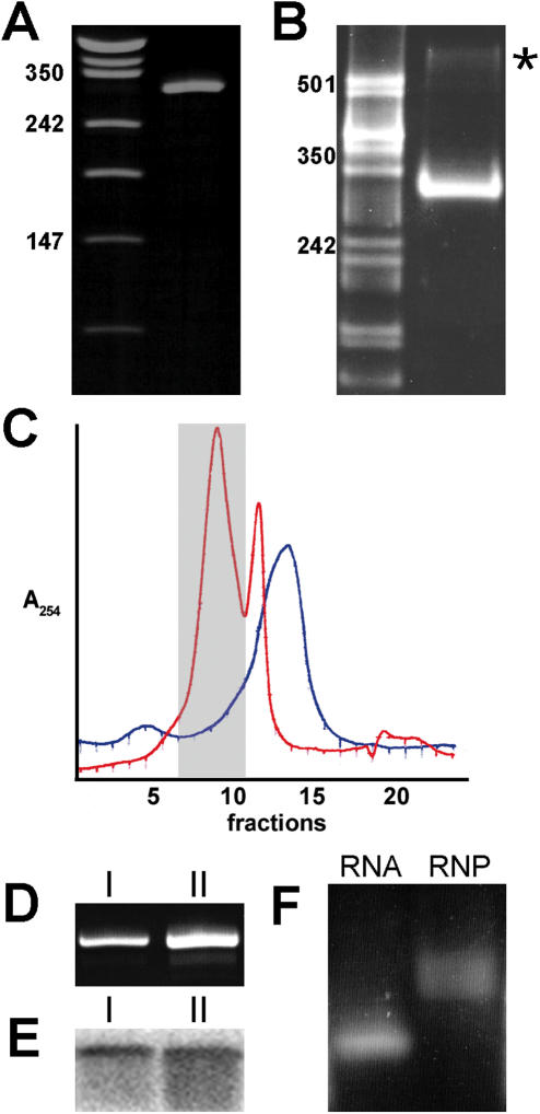 Alu RNP purification on Superdex 200 . ( A ) Denaturing acrylamide gel. Synthetic Alu RNA migrates as a single band with the expected size of 305 nt. ( B ) Native acrylamide gel. Alu RNA migrates in a defined band indicating that it is homogeneously folded. Trace amounts of an RNA dimer are also observed (star). ( C ) OD 254 elution profile of a Superdex 200 column. Free Alu RNA, blue; Alu RNA bound to recombinant SRP9/14, red. Fractions 7–10 (grey box) containing Alu RNA in complex with two SRP9/14 proteins were pooled for subsequent experiments. The second RNP peak most likely represents Alu RNA bound to one protein and free RNA. ( D ) Aliquots of 1 and 2 µl (I and II, respectively) of the purified RNP fraction were subjected to denaturing acrylamide gel electrophoresis after proteinase K digestion. ( E ) Aliquots of 1 and 2 µl (I and II, respectively) of the purified RNP fraction were subjected to immunoblotting with anti-SRP14 antibodies. ( F ) Native agarose gel electrophoresis of the purified RNP fraction and free RNA.