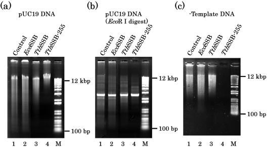 Effect of Tth SSB-255 protein on RCA assays. ( a ) RCAs were carried out in the absence or presence of the indicated SSB proteins using pUC19 DNA as a template and phi29 DNA polymerase. ( b ) Same as (a), except for using linearized ( Eco RI) pUC19 DNA as the template. ( c ) Same as (a), except that the amplifications were carried out in the absence of template DNA. Lane M: molecular weight markers (100 and 12 kb).