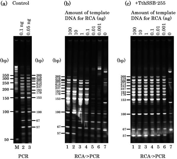 Multiplex PCR examinations of RCA amplified whole genome. ( a ) Control, multiplex PCR amplifications for the 12 randomly selected human genes using human genomic DNA as the template. Amount of the template DNA for the PCR is indicated. Multiplex PCR amplifications of the 12 human genes using RCA products as the template in the absence ( b ) or presence ( c ) of Tth SSB-255 protein. Amount of the template DNA for RCA is serially diluted as indicated. Throughout (a–c), all samples were amplified with primers at the same primer pair concentrations (0.1 µM per pair). Aliquots of 5 µl volume were electrophoresed through 12.5% acrylamide gel in Tris–borate/EDTA buffer, and stained with SYBR Green (SYBR Green I, Novagen). The signals were detected using a Fluoro Imager (Fluoro Imager 595, Molecular Dynamics). Product sizes (from 57 to 360 bp) are indicated on the right or left side of each panel. The oligonucleotide sequences used for the primers are as follows. Primer sets 1 (chromosome 11), 5′-GGGCA GAGCC ATCTA TTGCT TACA-3′, 5′-GGTTG CTAGT GAACA CAGTT GTGTC A-3′; Primer sets 2 (chromosome 16), 5′-GCACT CTTCT GGTCC CCACA GA, 5′-TTGGT CTTGT CGGCA GGAGA CA-3′; Primer sets 3 (chromosome 8), 5′-GTCCT TCCCC CGCTG GAAAC-3′, 5′-GCAGC AGAGA TCATC GCGCC-3′; Primer sets 4 (chromosome 7), 5′-CACAG ATTTC CAAGG ATGCG CTG, 5′-CGTGC TCTGT TCCAG ACTTG-3′; Primer sets 5 (chromosome 10), 5′-CGTCT GGCGA TTGCT CCAAA TG-3′, 5′-GGGCA GTTGT GATCC ATGAG AA-3′; Primer sets 6 (chromosome 17), 5′-GCCTC TGATT CCTCA CTGAT TGCTC T, 5′-TGTCA ACCAC CCTTA ACCCC TCC-3′; Primer sets 7 (chromosome 20), 5′-TTGGA GGGGT GGGTG AGTCA AG, 5′-GGAGG GGTGG GGGTT AATGG TTA-3′; Primer sets 8 (chromosome 13), 5′-GGAAC AAGAC ACGGC TGGGT T-3′, 5′-AGCAA GGCAG GGCAG GCAAG T-3′; Primer sets 9 (chromosome 3), 5′-CGGTC CCATT CTCAG GGAAT CT-3′, 5′-GCCCA GAGGA AGAAG AAGGA AA-3′; Primer sets 10 (chromosome 1), 5′-GCCCC CACCC AGGTT GGTTT CTA-3′, 5′-ATGCC TTCAT CTGGC TCAGT GAA-3′; Primer sets 11 (chromosome 6), 5′-GCTCA GCATG GTGGT GGCAT AA-3′, 5′-CCTCA TACCT TCCCC CCCAT TT-3′; Primer sets 12 (chromosome 22), 5′-GACTA CTCTA GCGAC TGTCC ATCTC-3′, 5′-GACAG CCACC AGATC CAATC-3′.