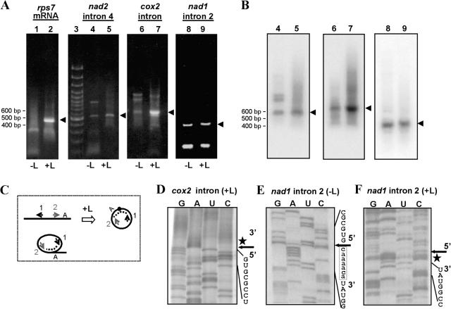 <t>RT–PCR</t> and cRT–PCR detection of lariat (and/or circularized) versus linear wheat mitochondrial intron molecules. ( A ) RT–PCR across the excised intron junction using 24 h wheat mitochondrial <t>RNA</t> as template, either pre-treated with ligase (+L; lanes 2, 5, 7 and 9) or untreated (−L; lanes 1, 4, 6 and 8) generated products of sizes 450, 520, 630 and 400 bp (denoted by arrowheads) for rps7 mRNA, nad2 intron 4, cox2 intron and nad1 intron 2, respectively. Size markers are shown in lane 3. ( B ) Southern blot of gels (shown in A, lanes 4–9) using intron-specific oligomer probes for nad2 intron 4, cox2 intron and nad1 intron 2. ( C ) Schematic showing positions of primers (arrows 1 and 2) used for RT–PCR and cRT–PCR in panels (A) and (B). Branchpoint is shown by A. Dotted lines indicate regions of amplification. ( D–F ) Direct sequencing of RT–PCR products for (D) cox2 intron (+L), (E) nad1 intron 2 (−L) and (F) nad1 intron 2 (+L) using oligomers 6, 11 and 16, respectively (Supplementary data). Note that an inverted orientation of the sequencing gel is shown for (E). Arrows show positions of the 5′ terminal nucleotide of the introns, stars highlight short non-encoded A-rich stretches and the discrete non-encoded insert sequence is boxed in (E).