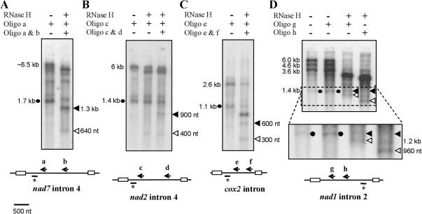 Determination of in vivo abundance of lariat (and/or circularized) versus linear excised introns by RNase H analysis. Wheat mitochondrial RNA (24 h) was annealed with oligomers as shown in schematics (arrows a–h) for ( A ) nad7 intron 4, ( B ) nad2 intron 4, ( C ) cox2 intron and ( D ) nad1 intron 2, prior to RNase H treatment. Positions of oligomer probes used in subsequent northern blot analysis are shown by overlined asterisks. Size markers are shown, black dots represent the positions of native excised introns, black arrowheads indicate positions expected for hybridizing products from lariat (or circularized) intron forms and white arrowheads for linear intron forms.