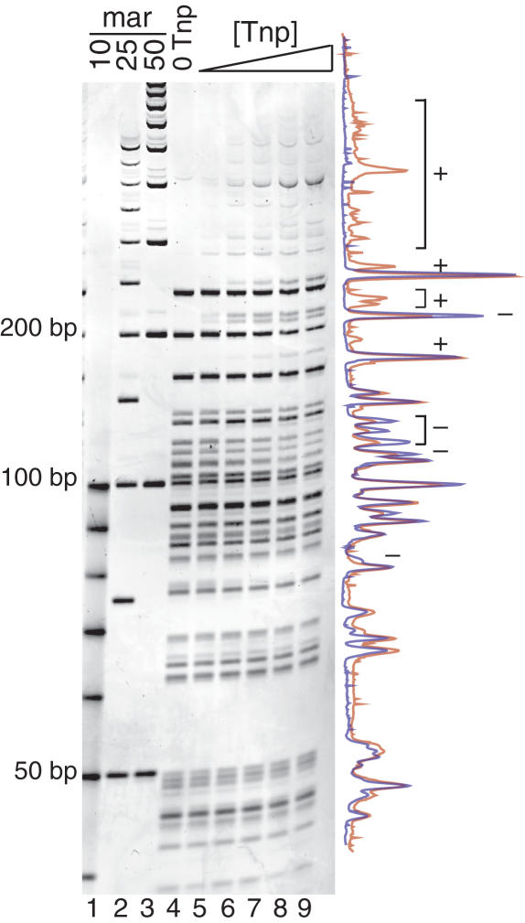 Tn 5 Tnp interacts with supercoiled pUC19. REBA of Tnp bound to supercoiled pUC19 is shown in lanes 4–9 and DNA size markers are shown in lanes 1–3. Increasing concentrations of Tnp (lanes 5–9) were incubated with pUC19 followed by addition of frequent cutting restriction enzymes, HhaI, Fnu4HI and Sau3AI. Blockage of restriction sites by Tnp results in the appearance of larger bands and decrease in some smaller bands as Tnp concentration is increased. This is most evident when examining the overlay of the traces from a no Tnp control reaction (blue, lane 4) and 900 µM Tnp lanes (red, lane 9), seen to the right of the gel. Bands increasing in intensity are marked with a plus sign (+). Bands decreasing in intensity are marked with a minus sign (−).