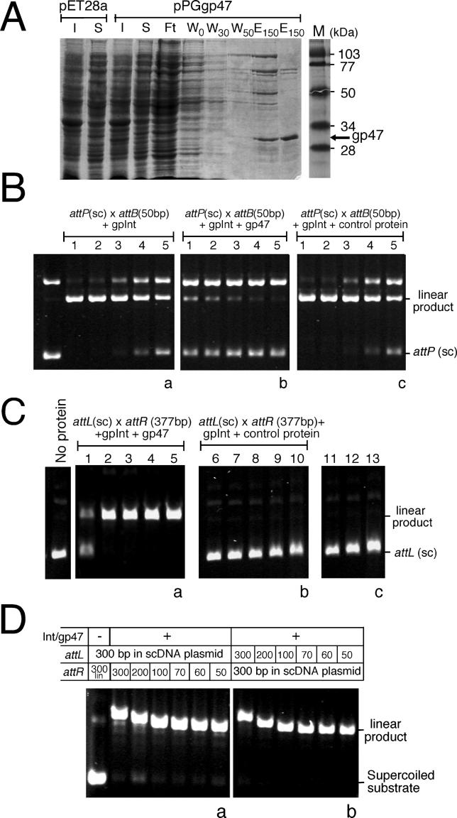 In Vitro Excisive Recombination Using gp47 (A) E. coli BL21(DE3)pLysS transformed with pET28a and pPGgp47 were grown to an A 600 of 0.6 at 30 °C and induced for an additional 4 h at 22 °C with 0.6 mM IPTG. The cells were lysed in lysis buffer (see Materials and Methods ) and partially purified by passage through a Ni-NTA column followed by elution with 150 mM imidazole; I, S, Ft, W, and E represent the insoluble fraction, soluble fraction, flow-through from the Ni-NTA column, washes with the indicated concentration of imidazole, and 150 mM elution from the Ni-NTA column, respectively. The induced cells of pPGgp47 show the presence of an approximately 32-kDa protein (as indicated) that is absent from the pET28a expression lanes and is abundant in the insoluble fraction. Molecular weight markers are shown in lane M and their corresponding sizes indicated. (B) Integrative recombination was performed as described previously using a supercoiled attP substrate, a linear 50-bp attB DNA, and increasing concentrations of gpInt [ 34 ]: panel a, in the absence of any additional protein; panel b, in the presence of partially purified gp47; panel c, with addition of a control extract. Lanes 1–5 contain 0.36, 0.18, 0.09, 0.045, and 0.0225 μM of gpInt respectively. Panels b and c contain 1.78 μM of gp47 and an equivalent amount of the control extract respectively, in addition to gpInt. The positions of the supercoiled substrate and the linear recombinant product are indicated. The small (50 bp) linear attB substrate migrates fast and is not shown. (C) Excisive recombination was carried out in recombination buffer (see Materials and Methods ) using a 367-bp attL in a supercoiled plasmid and a 377-bp linear attR partner DNA. Lanes 1–5 of panel a contain increasing concentrations of gp47 (0.89, 1.78, 2.67, 3.56, and 5.34 μM), lanes 7–11 of panel b contain an equivalent amount of the control protein. Control reactions lacking either the partner attR DNA (lane12), gp47 (lane 13), or gp