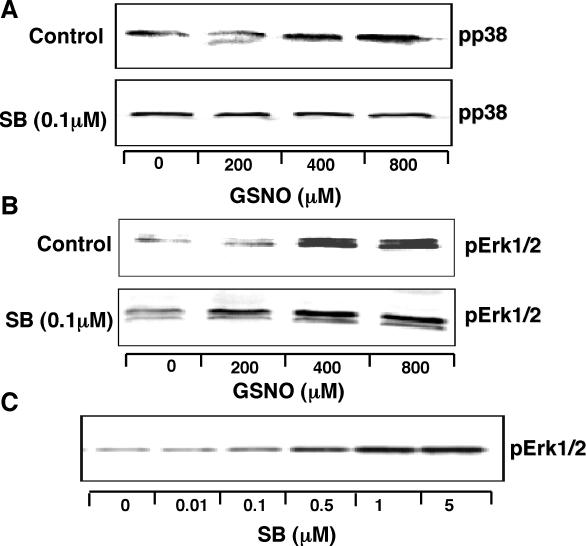 Effects of NO • and the p38 MAPK inhibitor SB202190 (SB) on MAPK phosphorylation. ( A ) NO • increases p38 MAPK phosphorylation, an effect blocked by SB (0.1 µM). ( B ) NO • increases Erk1/2 phosphorylation, an effect enhanced by SB (0.1 µM). ( C ) SB (0–5 µM) alone increases Erk1/2 phosphorylation. THP-1 cells (1 × 10 7 ) were stimulated with LPS (1 µg/ml) for 4 h. After 30 min treatment with ActD (2.5 µg/ml) in the absence (control) or presence of SB, cells were incubated without or with GSNO (0–800 µM) for another 30 min, as indicated and then lysed. Each experiment was repeated at least twice with similar results.