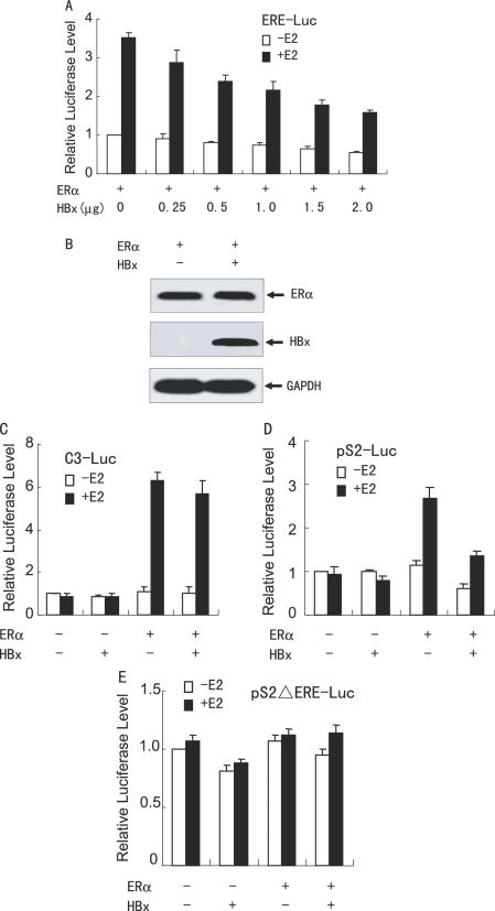 HBx inhibits ERα-mediated transactivation function in hepatoma cells. ( A ) HepG2 cells were co-transfected with 0.2 µg of ERE-Luc, 50 ng of the expression plasmid for ERα and increasing amounts of the expression plasmid for FLAG-tagged HBx in the absence or presence of 10 nM E 2 . The luciferase activity obtained on transfection of ERE-Luc and ERα without exogenous HBx in the absence of E 2 was set as 1. ( B ) Immunoblotting showing the ERα and HBx levels in HepG2 cells. Cells were transfected as in (A). Whole cell extracts were prepared from the cells transfected with 2.0 µg of the expression plasmid for HBx in the presence of 10 nM E 2 , and were detected with anti-ERα (Santa Cruz Biotech), anti-FLAG (Sigma) or anti-GAPDH (Biogenesis) antibody. (C–E) HepG2 cells were co-transfected with 50 ng of the expression plasmid for ERα, 1.0 µg of the expression plasmid for FLAG-tagged HBx, and 0.2 µg of C3-Luc ( C ), pS2-Luc ( D ) or pS2ΔERE-Luc ( E ), in the absence or presence of 10 nM E 2 . The luciferase activity obtained on transfection of the respective luciferase reporter without exogenous ERα and HBx in the absence of E 2 was set as 1.