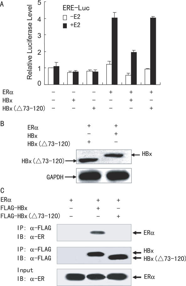 The HBx deletion mutant abolishes HBx-induced repression of ERα transcriptional activity. ( A ) Luciferase reporter assays with the HBx deletion mutants. HepG2 cells were co-transfected with 0.2 µg of ERE-LUC, 50 ng of the expression plasmid for ERα and 1.0 µg of the expression vector for FLAG-tagged HBx or HBx(Δ73–120), in the presence or absence of 10 nM E 2 . ( B ) Western blotting showing expression of FLAG-tagged HBx and HBx(Δ73–120). Cells were transfected as in (A). Cell extracts were prepared from E 2 -treated cells, and equivalent amounts of each extract were detected with anti-FLAG or anti-GAPDH antibody. ( C ) The HBx deletion mutant abolishes the HBx–ERα interaction. HepG2 cells were co-transfected with the expression plasmid for ERα and the expression vector for FLAG-tagged HBx or HBx(Δ73–120). Cell lysates were immunoprecipitated by anti-FLAG, and the precipitates were probed with anti-ERα.