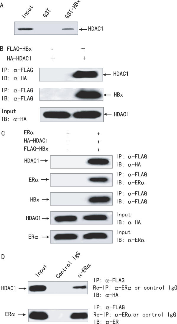 HBx forms a complex with ERα and HDAC1. ( A ) Association of HBx with HDAC1 in vitro . GST-HBx and GST were incubated with 35 S-labeled ERα, and a GST pull-down assay was then performed. ( B ) Association of HBx with ERα in vivo . HepG2 cells were transiently transfected with HA-tagged HDAC1 and FLAG-tagged HBx or control vector. Immunoprecipitation (IP) was performed using anti-FLAG monoclonal antibody; immunoblotting (IB) was performed with the indicated antibodies. ( C ) HBx interacts with both HDAC1 and ERα in vivo . HepG2 cells were co-transfected with ERα, HA-tagged HDAC1, and FLAG-tagged HBx or control vector. The cell extracts were immunoprecipitated with anti-FLAG monoclonal antibody followed by immunoblotting with the indicated antibodies. ( D ) HBx, ERα and HDAC1 forms a ternary complex. HepG2 cells were transfected as in (C). The cell extracts were immunoprecipitated with anti-FLAG antibody. Immune complexes were eluted with FLAG peptide and re-immunoprecipitated (re-IP) using anti-ERα polyclonal antibody and normal rabbit serum as a negative control. The resulting precipitates were resolved by SDS–PAGE followed by immunoblotting with the indicated antibodies.