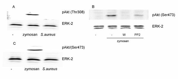 Effect of inhibitors against PI3K, Src family kinases and Btk on the tyrosine phosphorylation of Akt . Zymosan but not S. aureus induce tyrosine phosphorylation of Akt. This phosphorylation was affected by inhibitors against PI3K and Src family kinases. (A and C) Macrophages were stimulated for 30 min with either zymosan or heat killed S.aureus . (B) Macrophages were pretreated for 15 min with either PP2 (5 μM) or wortmannin (W, 100 nM), followed by stimulation with zymosan for 30 min. Cell lysates were processed for immunoblotting with the indicated antibody as described in Methods. The membrane was reprobed with ERK-2 antibody to verify equal loading of proteins. The data are representative of three separate experiments.