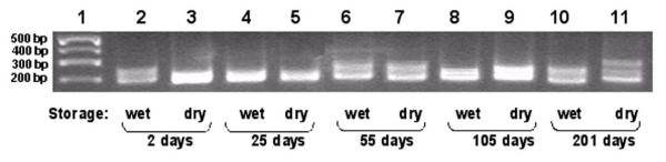 PCR amplification of DNA polymorphisms from aged sunfish tissues, employing Lma20 primers to amplify microsatellite regions. Lane 1: molecular weight markers (Hi-Lo Marker, Minnesota Molecular), size indicated in basepairs. Lanes 2, 4, 6, 8, and 10: PCR amplification of sunfish DNA from tissues that were stored in 100% ethanol. Lanes 3, 5, 7, 9, and 11: PCR amplification of sunfish DNA from tissues that were stored in a dried state. The period of aging is indicated for each set of samples. 2% agarose gel stained with ethidium bromide.