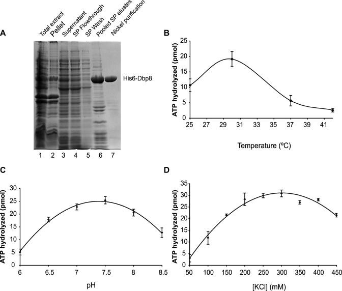 Purified recombinant Dbp8 has ATPase activity. ( A ) Purification of His6-Dbp8. Extracts prepared from E.coli expressing His6-Dbp8 (lane 3) was fractionated on a SP Sepharose cation exchange column. The column was extensively washed (lane 5) and proteins were eluted by applying a linear salt gradient. Fractions containing His6-Dbp8 were pooled (lane 6) and His6-Dbp8 was purified from these fractions to near homogeneity using Ni-NTA beads (lane 7). ( B–D ) Optimizing the temperature, pH and salt concentration for Dbp8 ATPase activity. ATP hydrolysis assays were performed at various temperatures (B); 25, 30, 37 and 42°C), different pH (C) and varying potassium chloride concentration (D) with 10 µM ATP. ATP conversion ( Y -axis) was calculated after 30 min by quantifying the phosphate release. Plotted are the averages and standard errors that were derived from three independent experiments.