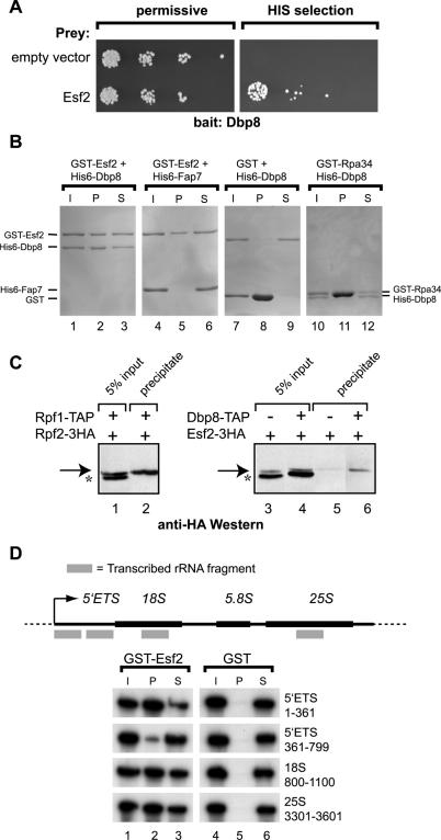 Dbp8 directly interacts with the RNA binding protein Esf2 in vivo and in vitro . ( A ) Dbp8 interacts with Esf2 in a yeast 2-hybrid assay. The yeast 2-hybrid host strain carrying the Esf2 bait vector and either Dbp8 prey vector or empty prey vector were serial diluted and tested for growth on permissive (+His) or selective media (−His selection). ( B ) Recombinant Dbp8 directly binds GST-Esf2 in GST pull-down assays. His6-Dbp8 was mixed with equimolar amounts of GST, GST-Esf2 or GST-Rpa34 and incubated on ice for 1 h. As an additional negative control, a GST pull-down assay was performed with GST-Esf2 and His6-Fap7 ( 24 ). GST-fusion proteins were precipitated using glutathione–Sepharose beads and bound proteins ('P'; lanes 2, 5, 8 and 11) were resolved by SDS–PAGE and stained with Coomassie brilliant blue. Ten percent of the input material ('I', lanes 1, 4, 7 and 10) and 10% of the supernatants ('S', lanes 3, 6, 9 and 12) was also analyzed. ( C ) Esf2 associates with Dbp8 in vivo . Strains expressing various TAP and/or 3HA-tagged proteins (indicated on top by + or − signs) were grown in YP media to exponential phase. Extracts prepared from these strains were incubated with IgG beads for 1 h at 4°C. Immunoprecipitated proteins were separated by 10% SDS–PAGE and 3HA-tagged proteins were detected by western blot using mouse monoclonal anti-HA antibodies (12CA5; lanes 2, 5 and 6). As a positive control, immunoprecipitations were performed with IgG beads using a strain in which two pre-66S associated proteins were tagged (Rpf1-TAP and Rpf2-3HA; lane 2). As a negative control, a strain was used in which only Esf2 was 3HA-tagged (lane 5). Five percent of the amount of extract used for the immunoprecipitation was also analyzed (lanes 1, 3 and 4). The asterisk indicates a yeast protein that is non-specifically recognized by the anti-HA antibody. ( D ) GST-Esf2 directly binds RNA in vitro . GST-Esf2 or GST alone were incubated with various radiolabeled in vitro transcribed r
