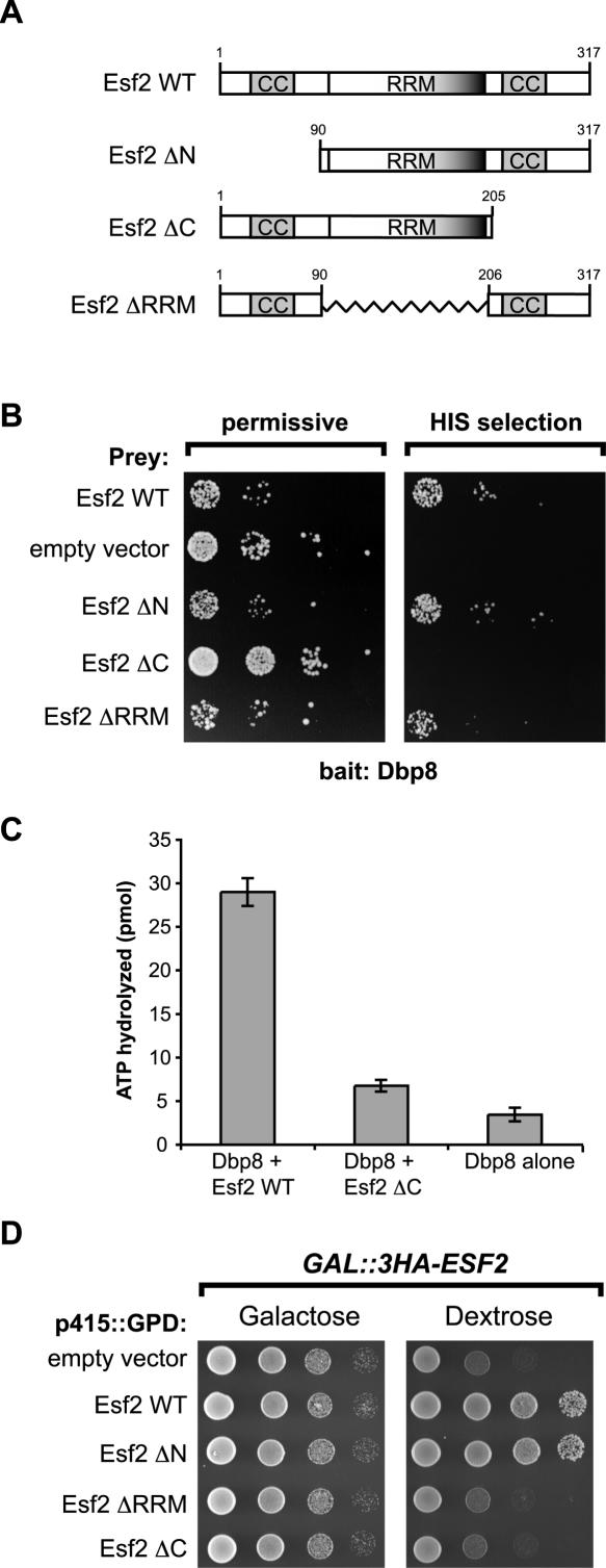 The essential C-terminal domain of Esf2 is required for binding to Dbp8 and stimulating its ATPase activity in vitro . ( A ) Schematic representation of the Esf2 wild-type (WT) and deletion mutants (ΔN, ΔC and ΔRRM) that were tested in the yeast two-hybrid screen for their association with Dbp8. The predicted RRM motif and coiled-coil domains are represented as boxes. The amino acid positions relevant to the deletions made are indicated. ( B ) The C-terminal domain of Esf2 is required for Dbp8 interaction in the yeast 2-hybrid assay. The yeast 2-hybrid host strain carrying either the Esf2 wild-type or Esf2 deletion mutants (bait) in combination with either Dbp8 (prey) or empty prey vector were serial diluted and tested for growth on permissive (+His) or selective media (His selection). ( C ) The C-terminal domain of Esf2 is required for stimulation of Dbp8 ATPase activity in vitro . ATP hydrolysis experiments were performed with 10 µM ATP, 5 pmol of Dbp8 and 50 mM KCl, in the presence or absence (Dbp8 alone) of 5 pmols of GST-Esf2 wild-type (WT) or GST-Esf2 ΔC. ATP hydrolysis (plotted on the Y -axis) was measured after 30 min incubation at 30°C. Graphed are the averages and standard errors derived from three independent experiments. ( D ) The C-terminal domain of Esf2 is essential for function in vivo . Serial dilutions (10-fold) of GAL::3HA-ESF2 strains carrying the empty vector or, p415GPD- ESF2 wild-type and mutant alleles (ΔN, ΔRRM and ΔC) were grown in synthetic galactose media (SG/R-LEU) and spotted on either galactose containing plates (left panel; SG/R-LEU) or galactose containing plates (right panel; SD-LEU).