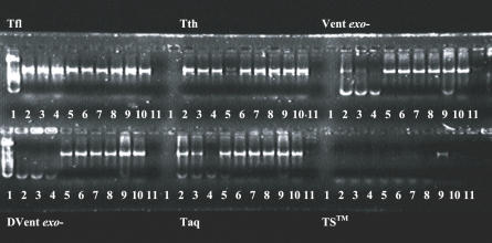 Primer blocking by di-deoxytermination. Well 1 contains 100 bp molecular-size standard (Roche) for Tfl and DVent (exo-) test sets and is empty for the rest of the enzyme sets. Wells 2–11 are the same for each enzyme tested and contain PCR product generated after supplementing 20% of the blocking reaction with fresh Taq and 10 mM dNTPs. Well 2, blocked with 10 mM ddNTPs and 10 mM dNTPs; Well 3, blocked with 10 mM ddNTPs and 5 mM dNTPs; Well 4, blocked with 10 mM ddNTPs and 1 mM dNTPs; Well 5, blocked with 10 mM ddNTPs and 0.1mM dNTPs; Well 6, blocked with 10 mM ddNTPs and 5 mM dATP and dCTP; Well 7, blocked with 10 mM ddNTPs and 5 mM dGTP and dTTP; Well 8, blocked with10 mM ddNTPs; Well 9, no ddNTPs in the blocking step; Well 10, no dNTPs in the blocking step Well 11, no primers or template.