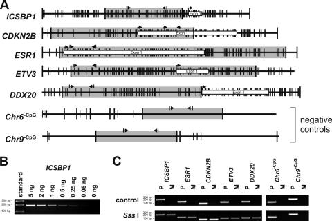 MB-PCR detects methylation of CpG island promoters. ( A ) Schematic presentation of the detected MseI-fragments (indicated as gray boxes) of ESR1 , CDKN2B (p15 INK4b ), ICSBP , ETV3 and DDX20 . The position of CpG-dinucleotides, MseI-restriction sites, transcription start site, first exon and relative position of primers are marked. ( B ) P -reaction for ICSBP using a serial dilution of MseI-digested genomic DNA. ( C ) Representative MB-PCR results of normal (unmethylated) and in vitro methylated genomic DNA for the indicated promoters and CpG-free regions. The P -reaction directly amplifies the genomic DNA, whereas the M -reaction only amplifies CpG-methylated DNA fragments.