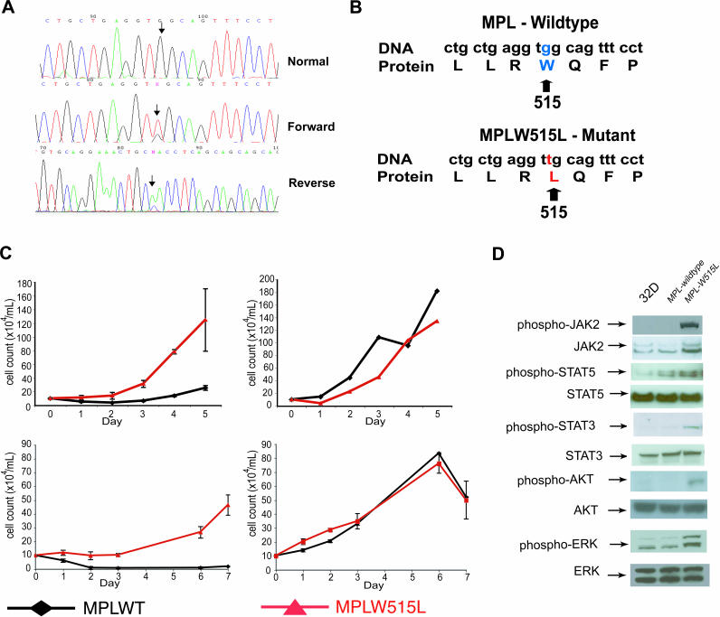 MPLW515L Mutation Is Found in JAK2V617F-Negative MF and Causes Cytokine-Independent Growth in 32D and UT7 Cells, and Constitutively Activates the JAK-STAT Signaling Pathway (A) Forward (middle trace) and reverse (lower trace) sequence traces demonstrating a heterozygous guanine to thymine substitution (arrows) present in granulocyte DNA from a patient with MF. The mutation is not present in buccal DNA from the same patient (upper trace). (B) DNA sequence and protein translation for both the wild-type and mutant MPL alleles. The mutation results in a tryptophan-to-leucine substitution at codon 515. (C) Upper: 32D cells transduced with MPLW515L exhibit cytokine-independent growth compared with MPLWT (left). Cell lines grown in the presence of IL3 show equal rates of growth (right). Error bars denote the standard deviation for each sample measured in triplicate. Lower: UT7 cells transformed with MPLW515L exhibit cytokine-independent growth compared with MPLWT (left). Cell lines grown in the presence of TPO (5 ng/mL) show equal rates of growth (right). Error bars denote the standard deviation for each sample measured in triplicate. (D) 32D cells, 32D MPLWT cells, and 32D MPLW515L cells were deprived of cytokines and then analyzed by Western blots, demonstrating phosphorylation of JAK2, STAT5, STAT3, AKT, and ERK in MPLW515L compared with MPLWT.