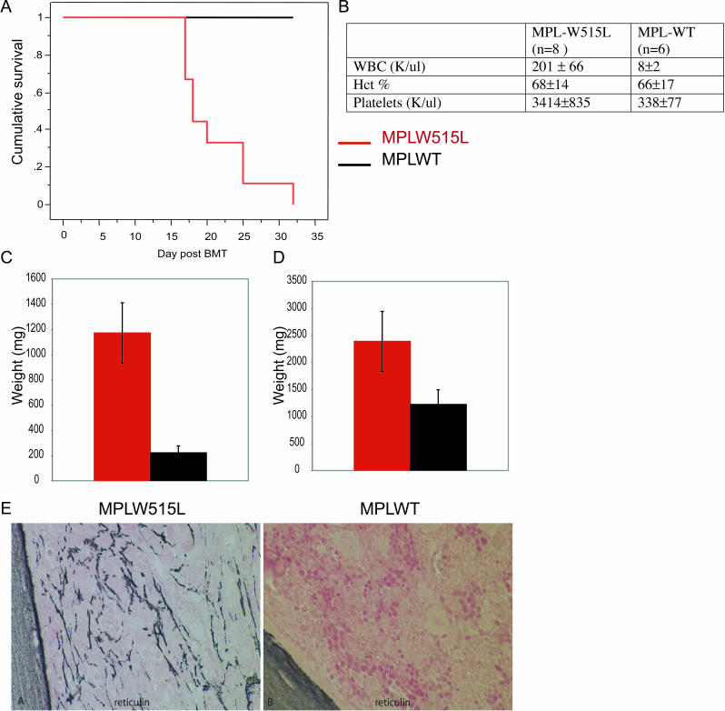 Bone Marrow Transplant with MPLW515L-Transduced Bone Marrow Causes a Rapid Myeloproliferative Disease (A) Kaplan-Meier survival plot of Balb/C mice transduced with MPLW515L ( n = 9) and MPLWT ( n = 6) showing death of all MPLW515L mice between 17 and 32 days post-BMT compared with MPLWT ( n = 6), which were sacrificed for endpoint analysis without evidence of disease. (B) Complete blood counts show leukocytosis and thrombocytosis in MPLW515L BMT model compared with MPLWT. There is no difference in hematocrits. Standard deviation is indicated. (C) Spleen weights of MPLW515L and MPLWT mice shows splenomegaly in MPLW515L mice but not in MPLWT mice with average spleen weight equal to 1,171 mg. (D) Liver weights of MPLW515L and MPLWT mice shows hepatomegaly in MPLW515L mice but not in MPLWT mice, with average liver weight equal to 2,390 mg (compared with 1,222 mg in MPLWT mice). (E) Bone marrow shows significantly increased bone marrow fibrosis by reticulin staining at 17 days post-BMT in MPLW515L mice, but not in MPLWT-expressing mice.