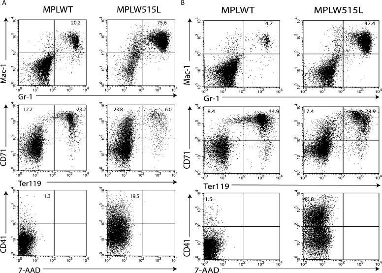 Flow Cytometry Analysis of BM and Spleen in Mice Transduced with MPLW515L and MPLWT (A) Flow-cytometry analysis of bone marrow cells shows a 4-fold increase in Mac1+/Gr1+ cells and a shift to a more immature erythroid population. There is a 15-fold increase in CD41+ cells in bone marrow expressing MPLW515L compared with MPLWT. (B) Flow-cytometry analysis of spleen cells shows a 10-fold increase in Mac1+/Gr1+ cells in MPLW515L. There is also a shift to a more immature erythroid population in MPLW515L with a greater percentage of CD71+/Ter119- cells. CD41+ cells are increased 30-fold in MPLW515L spleen cells compared with MPLWT spleen cells.