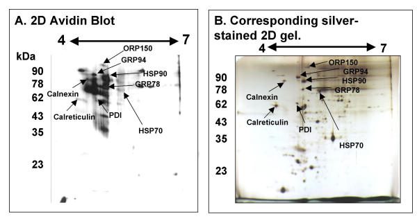 2D Electrophoresis, biotinylation and avidin blotting identifies surface-labeled oolemmal proteins. 2D electrophoresis of 800 zona-free mouse egg proteins, surface labeled with 2 mg/ml Sulfo-NHS biotin, and separated by 2D electrophoresis. Blotted with streptavidin-HRP and visualized by ECL (A). Corresponding 2D electrophoretic gel of 800 unlabeled zona-free mouse eggs visualized by silver staining. Labelled black arrows indicate previously identified protein spots (B). Horizontal axis of each shows isoelectric point and vertical axis shows molecular weight (kDa).