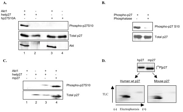 Akt1 phosphorylates p27S10 . A , Determination of S10 phosphorylation by specific antibody. Recombinant Akt1 was incubated with the indicated forms of His-tagged p27 in the presence of non-labeled ATP. Samples were separated by SDS/PAGE and analyzed by western blot with the indicated antibodies. B , Alkaline phosphatase abolishes recognition of phosphorylated p27. hwtp27 was phosphorylated as in A and treated with or without alkaline phosphatase. Samples were then analyzed by western blot with the indicated antibodies. C , Akt1 phosphorylates serine 10 in mouse p27. Akt1 was incubated alone or with the indicated forms of p27 in the presence of non-labeled ATP. Total and phospho-S10 levels were analyzed by western blot as indicated. D , Phospho-peptide maps of human and mouse p27. Radiolabeled samples were analyzed as described in Figure 3A.