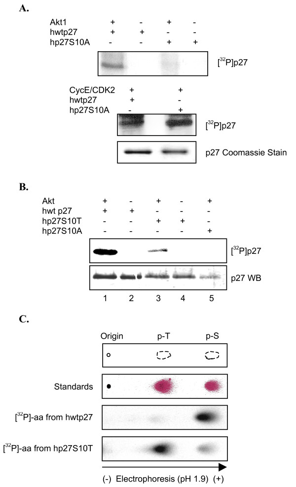 <t>Akt1</t> sequentially phosphorylates p27 at S10 and a neighboring serine . A , Akt1 does not phosphorylate hp27S10A. Upper panel: Recombinant Akt1 was incubated in a kinase reaction with the indicated forms of p27 as described. Samples were separated by SDS/PAGE and visualized by autoradiography. Bottom panel: His-tagged cyclin-E-CDK2 was purified from transfected HEK293 cells (see Methods), then incubated with indicated forms of p27 in the presence of [ 32 P]-γ-ATP. Samples were separated by SDS-PAGE and visualized by autoradiography. Commassie staining shows equal amounts of hwtp27 and p27S10A were present in the reactions. B , Akt1 phosphorylates hp27S10T. Kinase reaction was performed with recombinant Akt1 and indicated substrates. Upper panel: autoradiograph showing phosphorylated p27. Bottom panel: western blot showing similar levels of p27 in the reaction. C , Phospho-amino acid analysis comparing hwtp27 and hp27S10T. Kinase reaction described in B was repeated and radiolabeled p27 was subjected to PAA as in Figure 3C. Top panel: scheme representing migration of phospho-amino acid standards. Second panel: Phospho-amino acid standards separated by electrophoresis and visualized by 0.25% ninhydrin. Third panel: phospho-amino acid analysis of radiolabeled hwtp27. Bottom panel: phospho-amino acid analysis of hp27S10T. Radiolabeled peptides and amino acids were detected by phosphoimager.