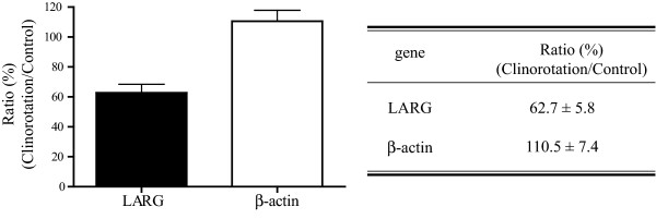 Real-time quantitative PCR . The expression of LARG mRNA was measured by real-time quantitative PCR as described in the Methods section. The LARG gene expression in the clinorotated cells decreased to 57.5% of that in the stationary control cells. Values were obtained from seven individual experiments in triplicates and are represented as means ± SE ( p