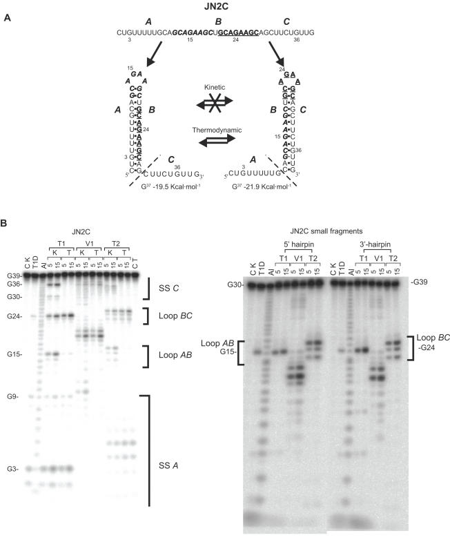 Enzymatic structure probing of the JN2C and shorter JN2C-derived RNA fragments. ( A ) Schematic representation of the folding trajectories, in which the A nucleotides can base pair with B , resulting in the boldface/italics loop, or B with C , resulting in the boldface/underlined loop. In the kinetic experiments there should not be an interchange between the two mutually exclusive structures, while in the thermodynamic experiments they should be in equilibrium. The dashed lines delimit the size of the two smaller JN2C-derived 5′ and 3′ end hairpin fragments. Δ G values were calculated using RNA-fold ( ) ( B ) Structure probing of JN2C and JN2C-derived fragments. CK is the control lane (without enzyme) for the kinetic probings and CT for the thermodynamic ones. K indicates the kinetic probing experiments and T the thermodynamic ones. Al is alkaline hydrolysis, T1D is digestion with <t>RNase</t> T1 under denaturing conditions, T1, V1 and T2 represent digestions with RNases T1, V1 and T2 under native conditions. Probing times are 5 and 15 min. The brackets indicate the position of the hairpin loops and single-stranded regions and the letters A , B and C indicate their respective positions in (A).