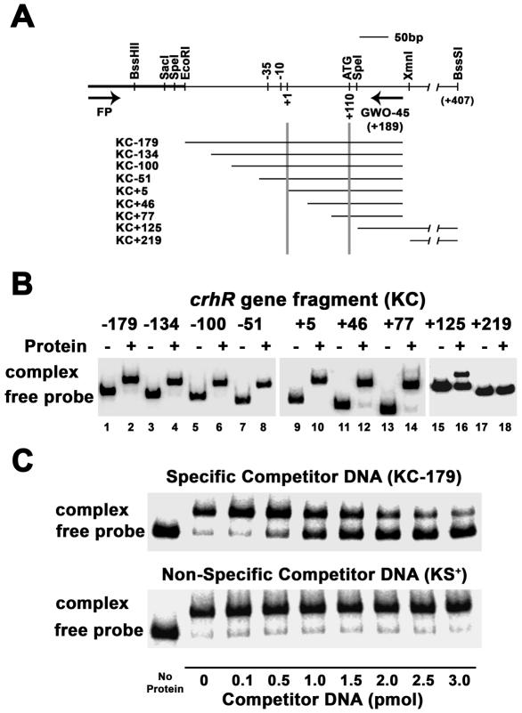 ( A ) crhR nested deletion series. DNA was deleted by directional digestion from the SacI site using Exonuclease III. Deleted clones are designated by their start site relative to the transcriptional start indicated as +1. DNA fragments corresponding to each deletion were generated by PCR using the M13 forward (FP) and GWO-45 primers, expect KC+125 and KC+219 which were produced by restriction digestion (KC+125: SpeI/BssS1; KC+219: XmnI/BssS1). Plasmid and crhR insert sequences are indicated by thick and thin solid lines, respectively. Scale 50 bp = 1 cm. ( B and C ) EMSA identification of the protein-binding region in the crhR gene. ( B ) Localization of the protein-binding region. 32 P-end-labeled DNA targets were incubated either alone (−) or with 30 μg Synechocystis soluble protein extract (+). ( C ) Competition assays. KC-179 32 P-end-labeled target DNA, containing the entire crhR promoter, was incubated with no protein or 30 μg Synechocystis soluble protein extract. Increasing amounts (0–3.0 pmol) of either specific competitor DNA (unlabeled KC-179 fragment; upper panel) or non-specific competitor DNA (unlabeled 262 bp EcoRV / PvuII fragment of pBluescript KS+; lower panel) were included in the binding reaction to determine the specificity of the protein–DNA interaction.