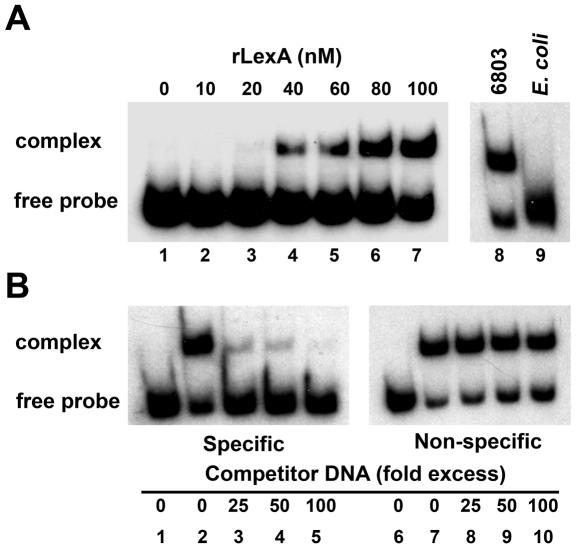 LexA-related protein-binding analysis. EMSA using recombinant LexA (rLexA) were performed to confirm interactions between LexA and the crhR gene. ( A ) rLexA concentration curve. Increasing concentrations of rLexA were incubated with 32 P-labeled KC+5. As controls, rLexA was also incubated with Synechocystis (lane 8) and E.coli (lane 9) soluble protein extracts. ( B ) DNA competition assays. rLexA (100 nM) was incubated with 32 P-labeled KC+5 and the indicated fold excess of either specific competitor DNA (unlabeled KC+5; lanes 1–5) or non-specific competitor DNA (internal lexA fragment; lanes 6–10).