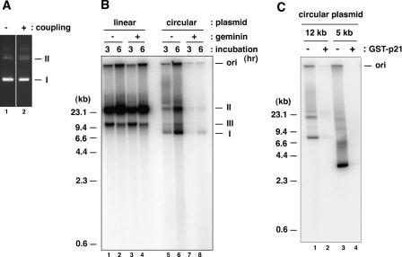 DNA synthesis on plasmid immobilized on paramagnetic beads in Xenopus egg extracts. ( A ) A circular form of plasmid pBluescript SK used for coupling to the beads (lane 1) or recovered from the immobilized beads (lane 2) was separated by agarose gel electrophoresis and stained with ethidium bromide. ( B ) A linear form (lanes 1–4) or circular form (lanes 5–8) of pG5λ6.6 (11 kb) immobilized on the beads was incubated in LSS in the presence or absence of 2 μg/ml geminin for the indicated time periods. ( C ) A circular form of pEXλ6.6 (12 kb) (lanes 1 and 2) or pKS-EX (5 kb) (lanes 3 and 4) immobilized on the beads was incubated in LSS for 4 h in the presence or absence of 13 μg/ml GST-p21. The 32 P-labeled replication products were separated by agarose gel electrophoresis and detected by autoradiography. Note that the major 23 kb product seen in lanes 1–4 in (B) migrated slightly faster than a nicked circular form of the plasmid. I, II and III denote fully supercoiled circular, nicked circular and linear forms of plasmid, respectively.