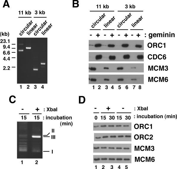 The effect of linearization of plasmid on pre-RC formation. ( A ) pG5λ6.6 (11 kb) or pBluescript (3 kb) coupled beads were pre-treated with XbaI to linearize the plasmid (lanes 2 and 4) or with the control buffer (lanes 1 and 3). After treatment, the plasmid was recovered from the beads, separated by agarose gel electrophoresis and stained with ethidium bromide. ( B ) The same pre-treated plasmid beads as in (A) were incubated in LSS supplemented with 2 μg/ml geminin (lanes 2, 4, 6 and 8) or the control buffer (lanes 1, 3, 5 and 7) for 30 min. The proteins bound to the beads were then analyzed by western blotting. ( C and D ) pBluescript-coupled beads were incubated in LSS for 30 min. The beads were then washed and treated with XbaI or the control buffer for 15 or 30 min. The plasmid after 15 min treatment with XbaI (C) and the proteins that remained bound to the beads (D) are shown. Lane 1 in (D) corresponds to the beads after 30 min incubation in LSS.