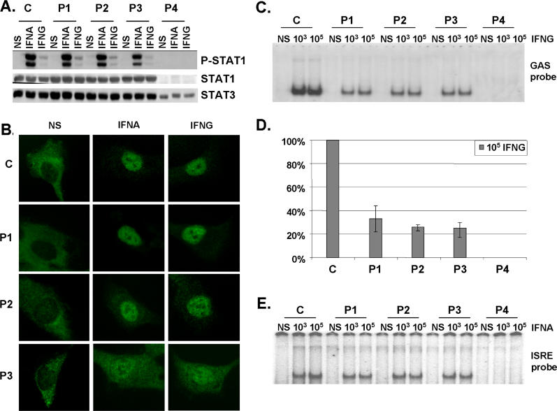 Normal Activation but Impaired DNA-Binding Activity of STAT1 in Heterozygous Cells from Patients (A) Western blot of total protein extracts (100 μg) from EBV-transformed B cells derived from a healthy control (C), three patients under study (P1, P2, P3), and a patient with recessive complete STAT1 deficiency (P4) homozygous for the 1758_1759delAG mutation, probed with specific antibodies against phosphorylated-Tyr-701-STAT1, STAT1, and STAT3. EBV-transformed B cells were not stimulated (NS) or were stimulated with IFNA or IFNG (10 5 IU/ml) for 30 min. (B) Immunofluorescence staining with a STAT1-specific antibody of skin-derived SV40-transformed fibroblasts from a healthy control (C) and three patients under study (P1, P2, P3). Fibroblasts were not stimulated (NS) or were stimulated with IFNA or IFNG (10 5 IU/ml) for 30 min. (C and E) EMSA of nuclear extracts (5 μg) from EBV-transformed B cells derived from a healthy control (C), three patients under study (P1, P2, P3), and the patient with complete STAT1 deficiency (P4). EBV-transformed B cells were not stimulated (NS) or were stimulated for 30 min with 10 3 and 10 5 IU/ml of IFNG (C) and IFNA (E), respectively. Radiolabeled GAS (C) or ISRE (E) probes were used. (D) Quantification of four to six independent experiments by PhosphoImager SI (Molecular Dynamics, Piscataway, New Jersey, United States) using the GAS probe in response to 10 5 IU/ml of IFNG is also presented. The mean, minimum, and maximum values are expressed with respect to the positive control response (100%). For (A–C) and (E), one experiment representative of three to five independent experiments is shown.