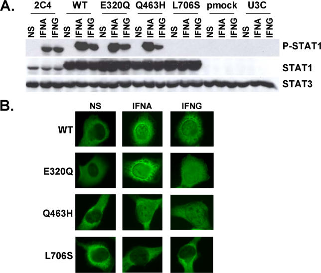 Normal Activation of <t>STAT1</t> Mutants in Stable Transfectants (A) Western blot of total protein extracts (100 μg) from a parental fibrosarcoma cell line (2C4) and STAT1-deficient U3C fibrosarcoma cell clones, untransfected (U3C) or stably cotransfected with a zeocin-resistance vector and a vector containing a mock (pmock), WT, E320Q, Q463H, or L706S STAT1 allele, with antibodies specific for phosphorylated-Tyr-701-STAT1, STAT1, and STAT3. The cells were not stimulated (NS) or were stimulated for 30 min with 10 5 IU/ml IFNA or IFNG. (B) Immunofluorescence staining, with a STAT1-specific antibody, of STAT1-deficient U3C fibrosarcoma cell clones, stably cotransfected with a zeocin-resistance vector and a vector containing a WT, E320Q, Q463H, or L706S STAT1 allele. The cells were not stimulated (NS) or were stimulated with IFNA or IFNG (10 5 IU/ml) for 30 min. For (A) and (B), one experiment representative of three independent experiments is shown.
