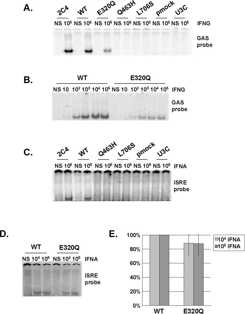Impaired DNA-Binding Activity of STAT1 Mutants in Stable Transfectants (A–D) EMSA of nuclear extracts (5 μg [A and B]; 30 μg [C and D]) from a parental fibrosarcoma cell line (2C4) and STAT1-deficient U3C fibrosarcoma cell clones, untransfected (U3C) or stably cotransfected with a zeocin-resistance vector and a vector containing a mock (pmock), WT, E320Q, Q463H, or L706S STAT1 allele. The cells were not stimulated (NS) or were stimulated for 30 min with the indicated doses of IFNG (A and B) or IFNA (C and D). We used the radiolabeled GAS probe FCGR1 (A and B) or an ISRE probe (C and D). For (A–D), one experiment representative of three to five independent experiments is shown. (E) Quantification of three independent experiments by PhosphoImager SI (Molecular Dynamics), using the ISRE probe, in response to 10 4 and 10 5 IU/ml IFNA is also presented. The mean, minimum, and maximum values are expressed with respect to the WT stable transfectant clone response (100%).