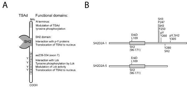 Schematic presentation of TSAd functional domains and predicted sites . A Schematic presentation of functional regions of TSAd . B Predicted sites identified in high stringency Scansite search of SH2D2A-1 and SH2D2A-5 peptide sequences: Core amino acids are indicated. pY: tyrosine kinase phosphorylation site. SH2 and SH3: SH2 and SH3 binding sites respectively. ErkD: binding site for ErkD domain.
