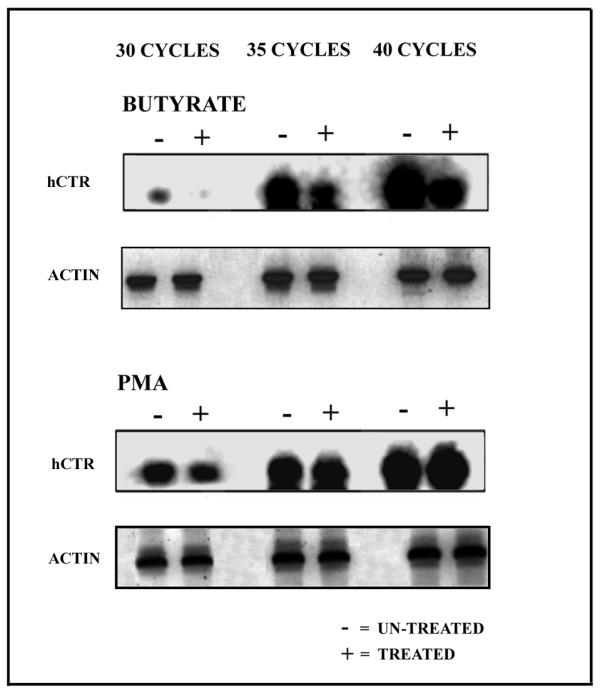 Semi-quantitative RT-PCR analysis on butyrate and PMA treated K562 cells. Total RNA from butyrate, PMA and untreated K562 cells was reverse transcribed and subjected to 30, 35 and 40 cycles of PCR employing actin and hCTR specific oligos. Reaction products were size fractionated on an agarose gel and Southern blotted employing 32 P end labelled hCTR and actin specific probes. These results are representative of 3 independent experiments giving similar results.
