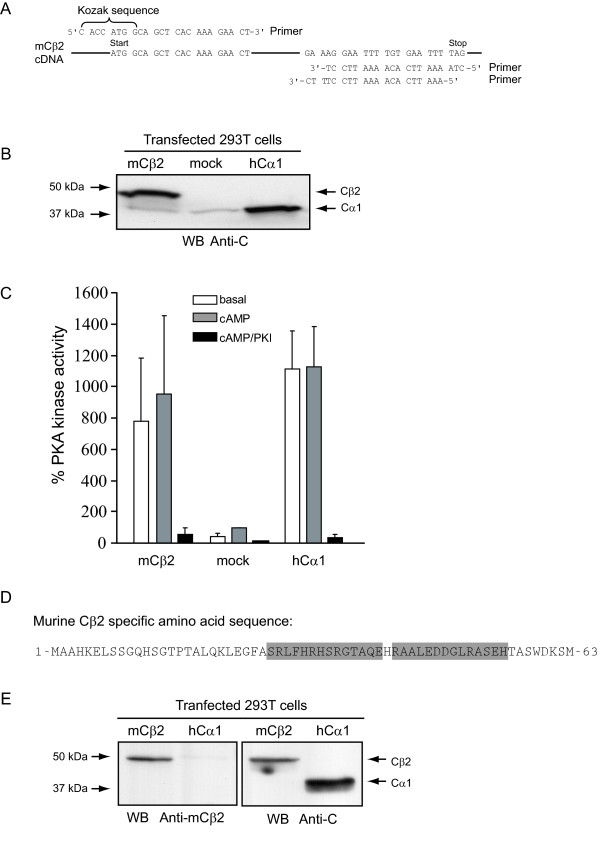 Murine Cβ2 cDNA encodes an active protein kinase of 47 kDa recognized by a Cβ2-specific antiserum . (A) Primers used to amplify mouse Cβ2 cDNA for insertion into pENTR/D-TOPO (Gateway system, Invitrogen). The upper 5'-end primer (upper sequence left) was designed to produce an insert with a Kozak sequence associated with the start codon (ATG). Two different 3'-end primers (lower right two sequences) were designed in order to include or exclude the stop codon (TAG). In the absence of the stop codon, the mouse Cβ2 would be expressed with a C-terminal tag, which is contained in the vector (Gateway, Invitrogen). Mouse Cβ2 cDNA was PCR amplified and subcloned into the pcDNA-DEST40 expression vector to yield pcDNA-DEST40 mCβ2. (B) HEK 293T cells (3.5 × 10 5 cells/ml) were transfected with 2μg DNA/ml of pcDNA-DEST40mCβ2 (mCβ2), mock-transfected (mock), or transfected with pEF-DEST51hCα1 (hCα1) for 24 h. Cells were lysed and analysed by SDS-PAGE and anti-pan C immunoblotting. Note that mCβ2, but not mock or hCα1 transfected cell extracts, contained an anti-C immunoreactive protein of 47 kDa. All lanes revealed a 40 kDa protein band which was most intense in cells transfected with pEF-DEST51hCα1 . (C) The same lysates were analysed for PKA-specific kinase activity in the absence (empty bars, basal) or presence (gray bars, cAMP) of 5μM cAMP, or both cAMP and PKI (black bars, cAMP/PKI). Activities were calculated relative to the activity of the mock-transfected lysate, which was set to 100 %. Bars represent mean activities of three experiments ± standard deviation. (D) The sequence of the two mCβ2 specific peptides (boxed) used to immunize rabbits to make mCβ2 specific antiserum. (E) Two rabbits were co-immunized with the two peptides and the resulting immune sera tested for immunoreactivity and specificity using cell extracts of HEK 293T cell transfected with mCβ2 (pcDNA-DEST40mCβ2) or hCα1 (pEF-DEST51hCα1). Left panel: The mCβ2 serum recognized a 47 kDa immunoreactive protein in mCβ2 but not in hCα1 transfected cell lysates. No cross-reactivity to human Cα1 could be observed. Right panel: Immunoblotting of the same lysates with a pan anti-C antibody revealed a 47 and a 40 kDa immunoreactive protein in the two extracts respectively, confirming expression of transfected constructs.