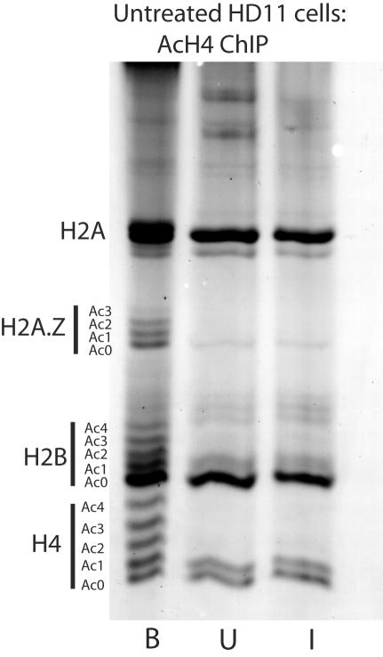 Proteins from an nChIP using mononucleosomes from HD11 cells and anti-hyperacetylated H4 antibodies, analysed on an acetic acid/urea/Triton (AUT) gel. B , bound fraction; U , unbound fraction; I , input fraction. Note that in addition to the expected enrichment of hyperacetylated species of H4, the Ab-bound nucleosomes are also enriched in acetylated species of H2B and also the replacement histone H2A.Z.