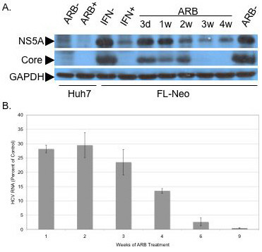 Arbidol inhibits chronic HCV replication . FL-Neo replicon cells were passaged without G418 in the presence of 6 μg/ml (11 μM) ARB for 3 days (lane 3d), or 1, 2, 3 or 4 weeks (lanes 1w to 4w). Huh7 cells, as a control for non HCV-replicating cells, were treated (lane ARB +) or not (lane ARB -) at 6 μg/ml for 3 days. The rightmost lane labeled ARB- represents proteins from control FL-Neo cells, treated without ARB for 4 weeks. FL-Neo cells were separately treated with 100 U/ml IFN-α for 48 h (lane IFN +) or not (lane IFN -). Cells were then lysed and treated as described in Materials and Methods. Ten μg of total cell protein of each sample extract were submitted to SDS-PAGE, followed by western blotting with murine monoclonal antibodies to NS5A or core proteins, or polyclonal antiserum to GAPDH.