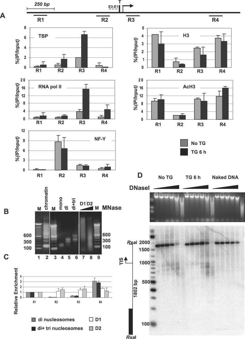 Transcription Factor Binding and Nucleosome Depletion at the Human GRP78 Promoter (A) ChIP analysis of the GRP78 promoter was performed on noninduced or TG-induced LD419 cells using antibodies against TBP, RNA polII, NF-Y, total H3, and acetylated H3-K9/14. Precipitated DNA was quantified by real-time PCR using primers specific for the indicated four regions of the promoter. The enrichment at each region is plotted as percentage of input. The data are representatives of experiments performed from two or three independent chromatin preparations. (B, C) MNase assay. (B) A mixture of oligonucleosomes (lane 2) from LD419 nuclei digested with MNase was fractionated through a sucrose gradient to obtain mononucleosomal, dinucleosomal, and trinucleosomal DNA (lanes 4, 5, and 6). Purified genomic DNA partially digested with MNase was used as naked DNA control (D1 and D2, lanes 7 and 8; M in lanes 1 and 9 indicates size marker). (C) Relative enrichment of nucleosomal and naked DNA at four regions of the GRP78 promoter. The values plotted are normalized with respect to the value at the R1 region, arbitrarily defined as 1. The four regions are depicted on the promoter diagram at the top of the figure. The TATA box (T), TIS (bent arrow), and ERSEs (E1–E3) are marked. (D) DNase I hypersensitivity assay. Top: EtBr staining. Bottom: Southern blot. The assay was performed on nuclei extracted from noninduced or TG-induced cells. Genomic DNA was included as a control to show a lack of sequence specificity of the enzyme. DNase I–digested samples were resolved by gel electrophoresis, showing varying extents of digestion (EtBr staining). Southern blot performed after RsaI digestion revealed a hypersensitive region in the GRP78 promoter similar in size in both noninduced and induced samples. On the left, a map of the GRP78 promoter region is shown indicating the 1,802-bp DNA fragment generated by RsaI digestion, transcription start site (bent arrow), and probe fragment (black box). Numbers next to the marker indicate size in bp.