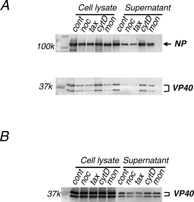 VLP Budding Is Dependent on Microtubules 10 μM nocodazole (noc), 1 μM taxol (tax), 10 μg/ml cytochalasin D (cytD), or 5 μM monensin (mon) was added to cells 3 h after they were transfected with plasmids expressing (A) NP, VP24, VP35, and VP40, or (B) VP40 alone. At 16 h post-transfection, proteins in the cell lysates and supernatants were separated by SDS-PAGE and examined by Western blotting with anti-NP and anti-VP40 antibodies. Following nocodazol or taxol treatment, the amounts of both VP40 and NP (A) or VP40 (B) in the supernatants (i.e., efficiency of VLPs budding) were reduced. cont, mock-treated control.