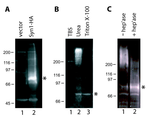 Expression of syndecan-1 in GM00701 cells . (A) GM00701 cells were transfected with pMH alone (lane 1) or pMH/Syn-1-HA (lane 2). Forty eight hours after transfection, total protein was extracted from cells with 1% Triton X-100 and equal amounts of protein (20 μg/lane) were separated by 7.5% SDS-PAGE, transferred to PVDF membrane and immunoblotted with anti-Syn-1 polyclonal antisera (1:1000) that was raised against a recombinant his-tagged fusion protein representing full length human Syn-1. Chemiluminescence detection was used to visualize bound antibodies. (B) GM00701 cells were transfected with pMH/Syn-1-HA and cells were selected that stably express Syn-1 (GM00701/Syn-1-HA). Cells were incubated with either TBS (lane 1), 8 M urea (lane 2), or 1% Triton X-100 (lane 3). Insoluble material was pelleted by centrifugation and soluble proteins were separated by 7.5% SDS-PAGE and immunoblotted with anti-Syn-1 antisera as described in (A). (C) GM00701/Syn-1-HA cells were incubated without (lane 1) or with (lane 2) heparinase (1 unit/ml) for 5 h at 37°C. Total cellular proteins were extracted with 8 M urea, separated by 6% SDS-PAGE and immunoblotted with anti-Syn-1 antisera as described in (A). Asterisks indicate the 77 kD, non-glycosylated Syn-1 core protein [36, 37].