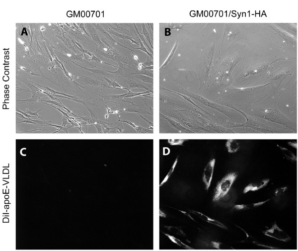 Expression of Syn-1 restores apoE-VLDL uptake in GM00701 cells . GM00701 (panels A and C) and GM00701/Syn-1-HA (panels B and D) cells were incubated with DiI-labeled apoE-VLDL (4 μg/ml) for 3 h at 37°C. Unassociated ligand was removed by rinsing, cells were fixed with paraformaldehyde and observed by fluorescence microscopy (panels C and D, 550 nm excitation-573 nm emission). Corresponding phase contrast images are shown in panels A and B. Magnification, 630X.
