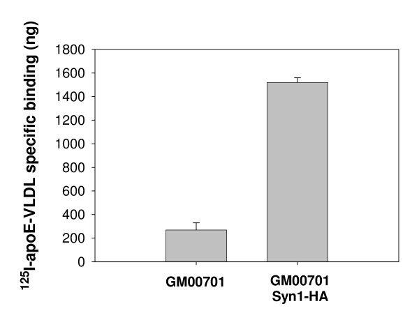 Comparison of 125 I-apoE-VLDL binding to GM00701 and GM00701/Syn-1-HA . GM00701 or GM00701/Syn-HA cells were incubated with 125 I-apoE-VLDL (2 μg/ml) for 3 h at 4°C in the absence or presence of unlabeled apoE-VLDL (100 μg/ml). Unbound ligand was removed by rinsing, cells were solubilized with 0.1 M NaOH and subjected to scintillation counting. Values shown represent specific 125 I-apoE-VLDL binding and were obtained by subtracting amounts of 125 I-apoE-VLDL bound in the presence of unlabeled apoE-VLDL from total 125 I-apoE-VLDL binding. Error bars represent standard deviations of triplicate points.