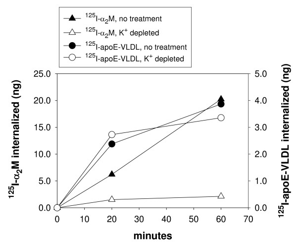 125 I-α 2 M internalization, but not 125 I-apoE-VLDL, is inhibited by K + depletion of cells . GM00701/Syn-1-HA cells were treated with K + -depleted buffers (open symbols), or K + -containing serum-free media (closed symbols), as described in Methods. Cells were incubated with either 125 I-apoE-VLDL (2 μg/ml) (circles) or 125 I-α 2 M (0.5 μg/ml) (triangles) for 20 min at 37°C. Specificity of uptake was determined by a parallel incubation with either unlabeled apoE-VLDL (100 μg/ml) or unlabeled α 2 M (5 μg/ml), respectively. After the 37°C incubation, cells were chilled to 4°C and acid stripped with 50 mM glycine, pH 3, 100 mM NaCl for 5 min to remove surface bound ligand (that which was not internalized). Internalized ligand was quantitated by solubilizing cells with 0.1 N NaOH and scintillation counting.