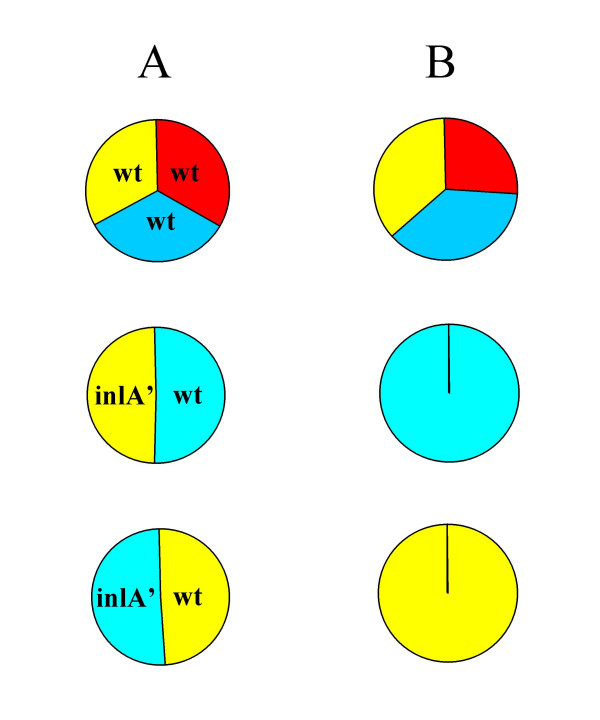 Mixed infections . Ratio of wt L. monocytogenes strains and its inlA' mutant tagged with <t>YFP</t> (yellow), <t>DsRed</t> (red) or CFP (blue) prior to invasion (A) and after recovery from Caco-2 cells (B).