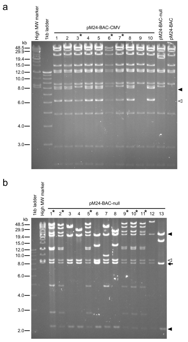 Analysis of BAC clones after site-specific recombination . (a) HindIII restriction analysis of chloramphenicol/kanamycin double-resistant clones (pM24-BAC-CMV) after Cre-mediated integration between pM24-BAC and pFLS-CMV shuttle vector. Clones #3, 6, and 7 (marked with asterisks) show the expected restriction pattern. Clones #1, 2, 4, 5, and 8 contain an additional 7.8 kb fragment ( closed arrowhead ) and a greater amount of the 6.2 kb fragment ( open arrowhead ) which is consistent with the expected digestion pattern of pM24-BAC-CMV with doubly inserted shuttle vector [see Additional file 3 ]. Clone #10 also contains a greater amount of the 7.8 kb fragment, suggesting insertion of three or more copies of the shuttle vector. The remaining clone (#9) did not undergo recombination and shows a pattern identical to that of pM24-BAC. (b) HindIII restriction analysis of pM24-BAC-null clones obtained after Cre-mediated integration between pM24-BAC and pFLS-XICP4 shuttle vector. Clones #1, 2, 5, 9, 10 and 11 (marked with asterisks) show a restriction pattern consistent with singly integrated pM24-BAC-null. The other seven clones contain a partially deleted, incomplete HSV-BAC genome. The 8.2 kb HindIII fragment containing the BAC backbone ( arrow ) and the two neighboring fragments (20.1 and 2.2 kb; closed arrowheads ) are preserved in all clones, and the 8.6 kb fragment ( open arrowhead ) adjacent to the 2.2 kb fragment is preserved in all clones except clone #13. Other fragments are lost in the deletion clones and new fragments of varying lengths are observed, suggesting that these deletions occurred randomly at different locations. For the HindIII restriction map, see Fig 2a and Additional file 3 .