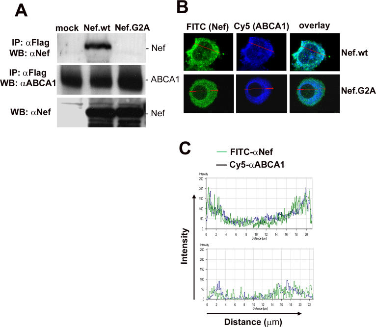Nef Interacts with ABCA1 (A) ABCA1 was immunoprecipitated using anti-FLAG M2 affinity gel from HeLa cells co-transfected with ABCA1-FLAG and an empty vector (mock), WT SF2 Nef (Nef.wt), or myristoylation-defective mutant Nef.G2A. Immunoprecipitates were analyzed by Wester n blotting for Nef (upper panel) or ABCA1 (middle panel) using specific antibodies. Bottom panel shows Nef expression in lysates of cells used for immunoprecipitation. (B) Experiment was performed as in Figure 4 E, except that cells were incubated with monoclonal anti-ABCA1 and polyclonal anti-Nef antibody, followed by FITC-conjugated anti-rabbit and Cy5-conjugated anti-mouse antibodies. Since all transfected cells show re-localization of ABCA1 ( Figure 4 E), a typical single cell is shown here. Images were analyzed using software on the Zeiss LSM 510 microscope. The scale bar represents 20 μm. (C) Fluorescence profile of the image in Figure 5 B was analyzed using the LSM 510 software. The top panel shows the distributions of the ABCA1 and HIV-1 Nef proteins in blue and green, respectively. The same analysis in the lower panel was performed for ABCA1 (blue) and Nef.G2A (green). The co-localization of WT Nef and ABCA1 at the plasma membrane is indicated by overlapping green and blue peaks at either end of the graph in the top panel.